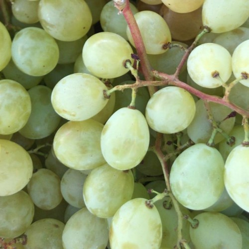 Uvas Moscatel